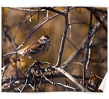 American Tree Sparrow Poster