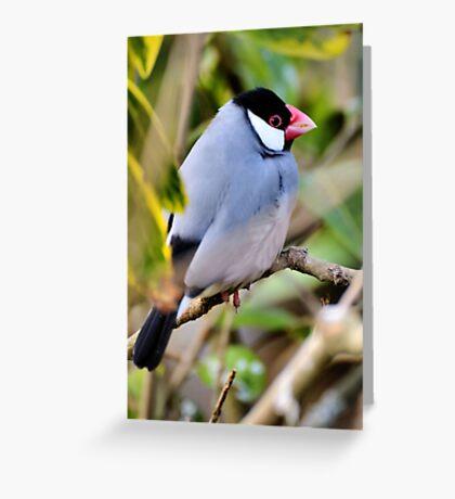 Java Sparrow Greeting Card