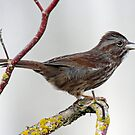 Song Sparrow Singing out its Song by Chuck Gardner
