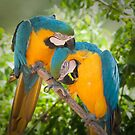 """Feathered Friends"" - parrots giving each other affection by ArtThatSmiles"