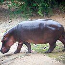 Hippo by Sunil Bhardwaj