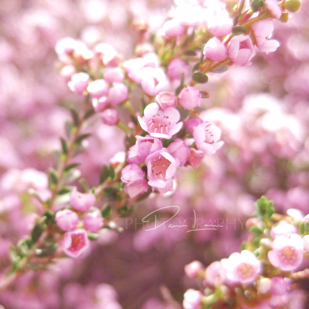 Pink Blossoms in Spring by danni-louise