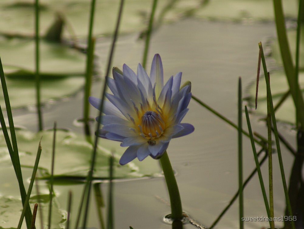 Water-lilly in reeds by Carol Field