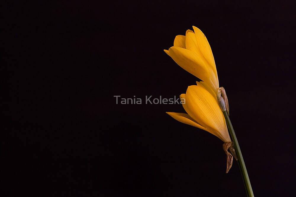 Yellow Crocuses.... by Tania Koleska