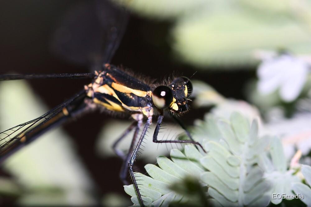 Dragonfly by EOSmedia