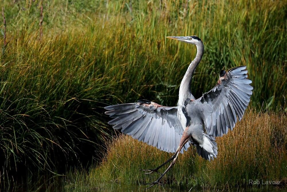 Great Blue Heron by Rob Lavoie