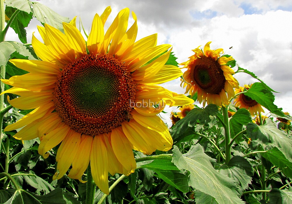 Sun flowers by bobby1