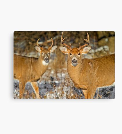 Getting Along Canvas Print