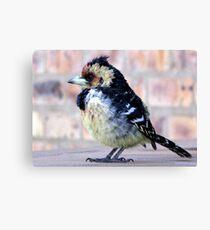 Crested Barbet / Kuifkophoutkapper Canvas Print