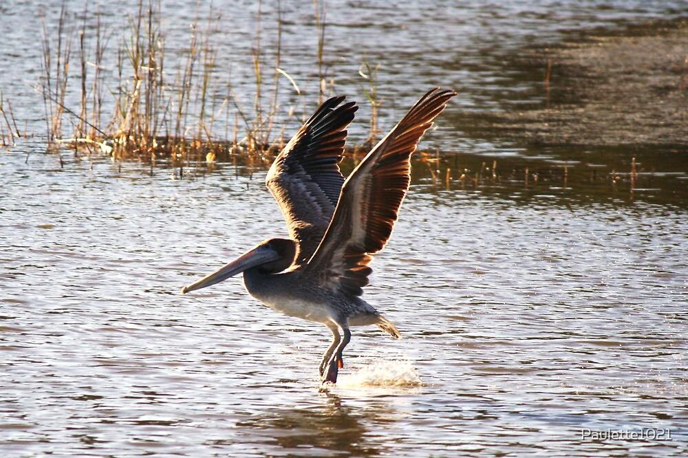 Brown Pelican Take Off by Paulette1021