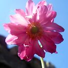 Japanese Anemone against the sky by Leyh
