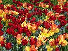 Colourful Tulips by AnnDixon