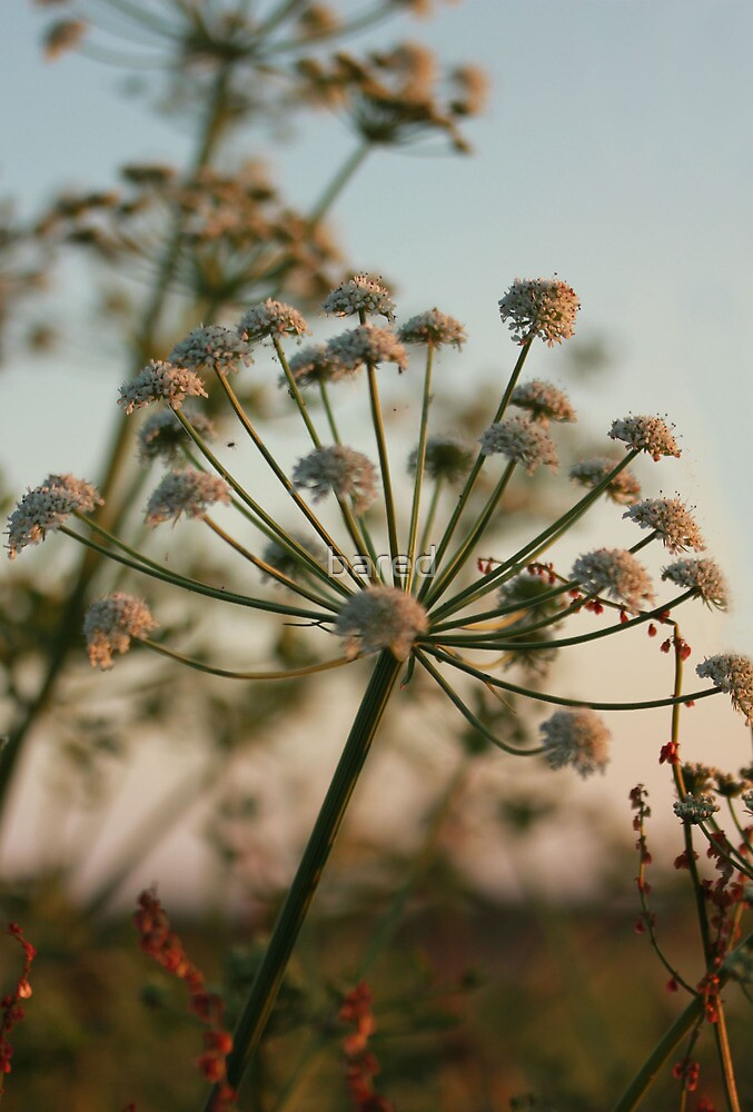Summer parsley by bared