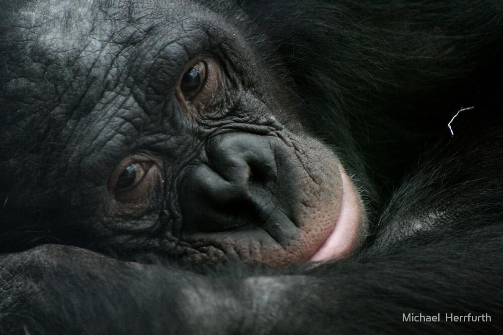 Sleepy Chimp by Michael  Herrfurth