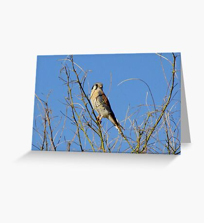 American Kestrel ~ Male Greeting Card