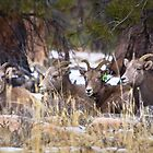 Red Canyon Bighorn Ewes by Kim Barton