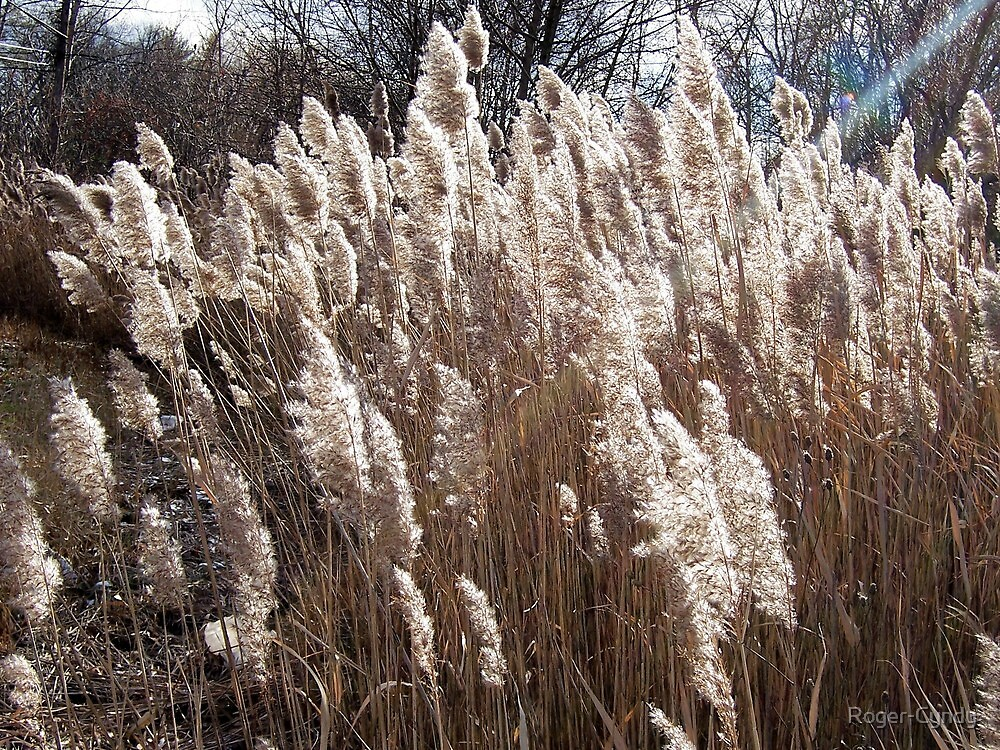Horsetails with the sun's rays by Roger-Cyndy