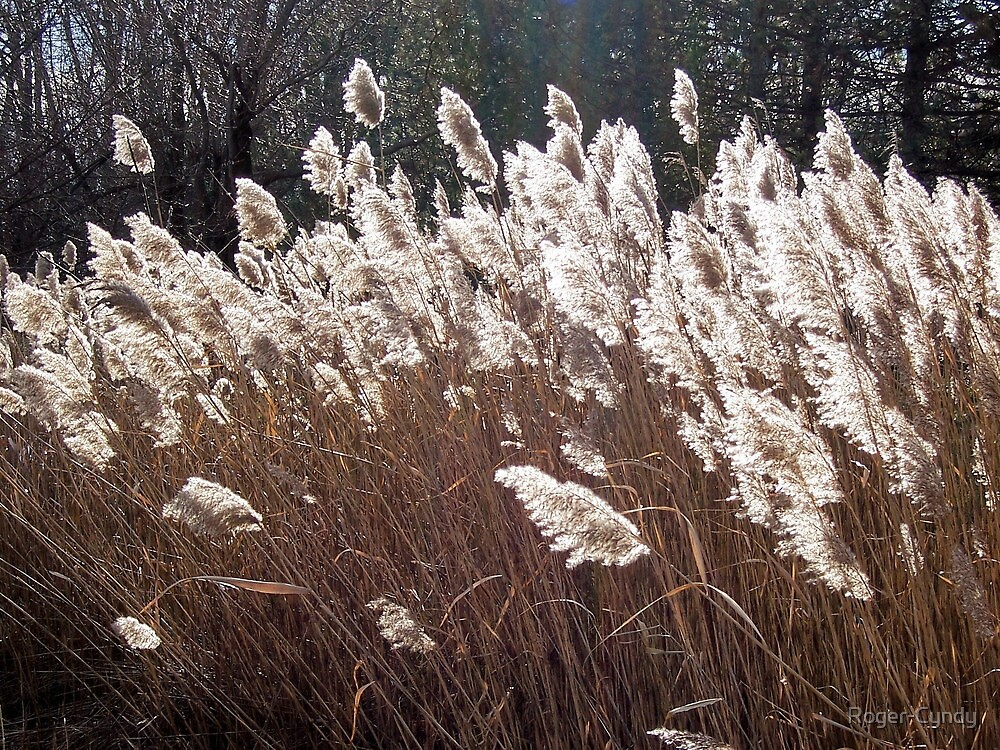 White horsetails by Roger-Cyndy