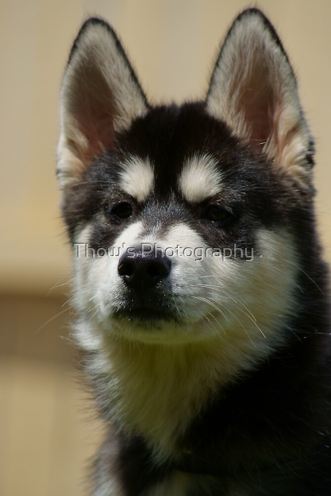 Zeus by Thow's Photography .