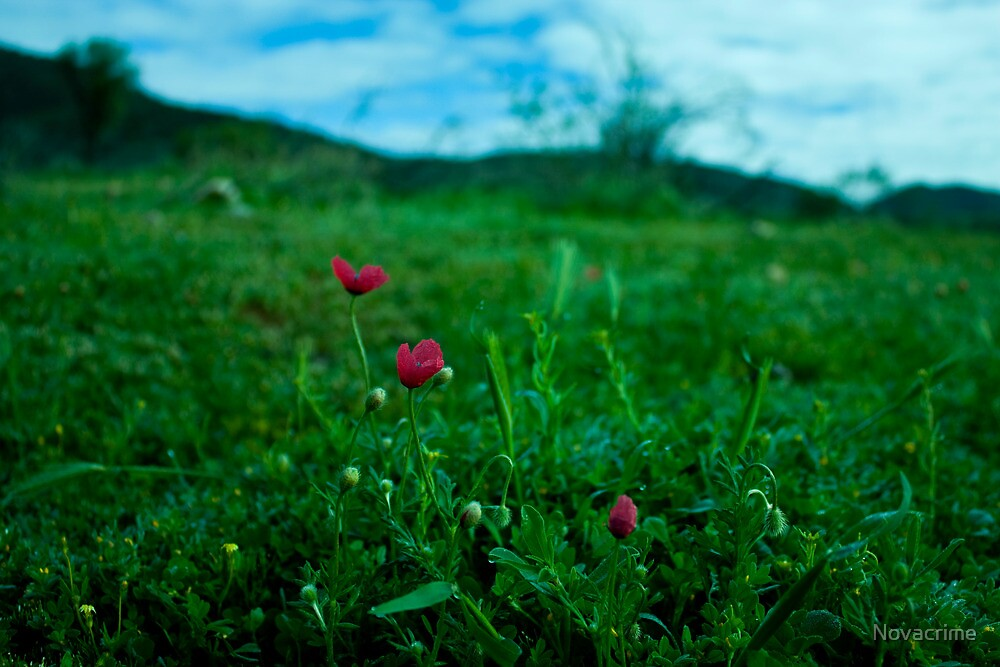 Wild Poppies by Novacrime