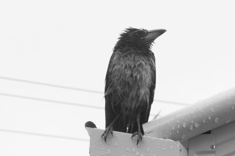 butcher bird by carrolk