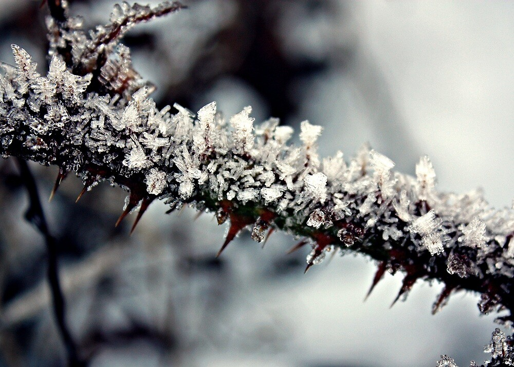 Iced Thorns by Julesrules