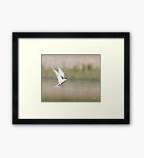 Halting Tern  Framed Print