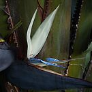 Strelitzia nicolai by Jan Clarke