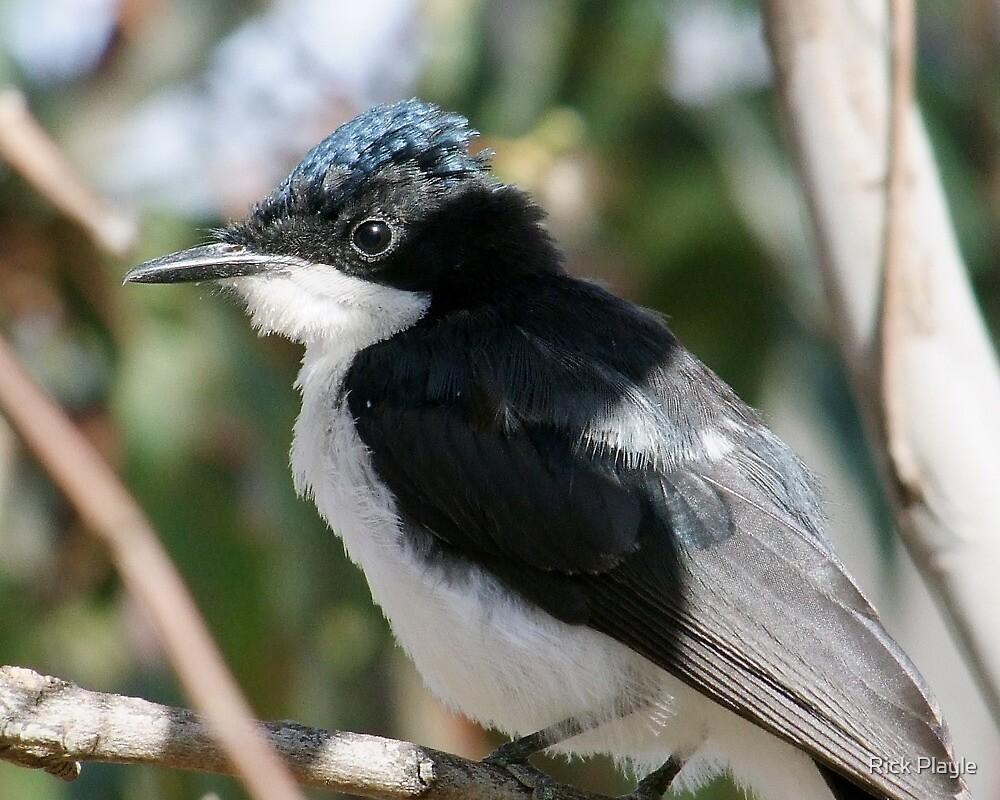 Portrait of The  Flycatcher by Rick Playle