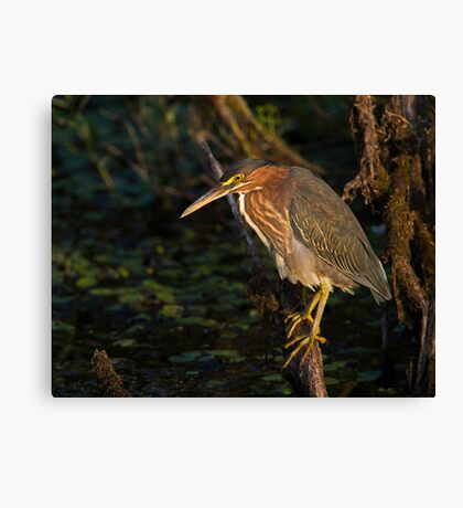 Perched for Fishing  Canvas Print