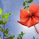 Red Hibiscus by Alex  Bramwell