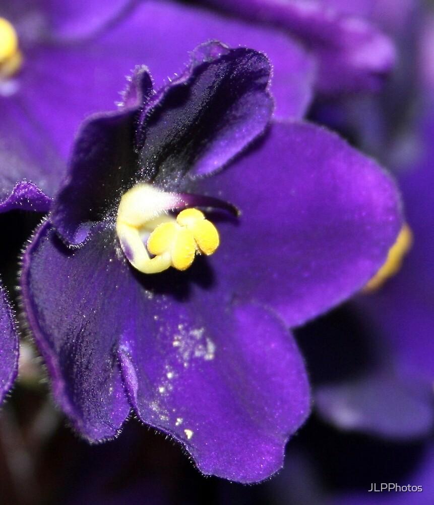 Loud Violet by JLPPhotos