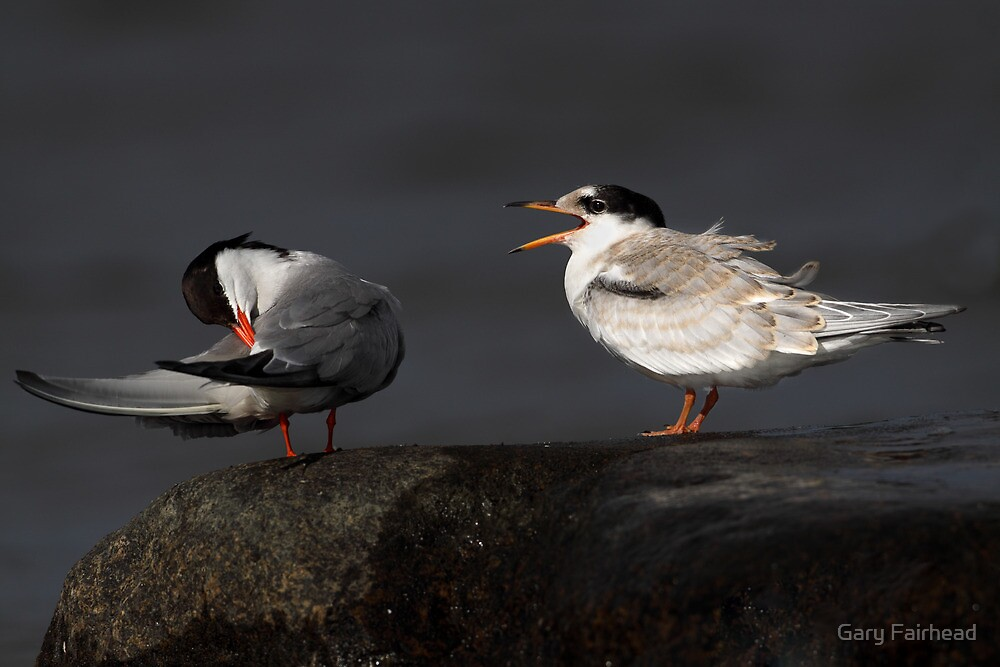 No Satisfaction / Common Terns by Gary Fairhead