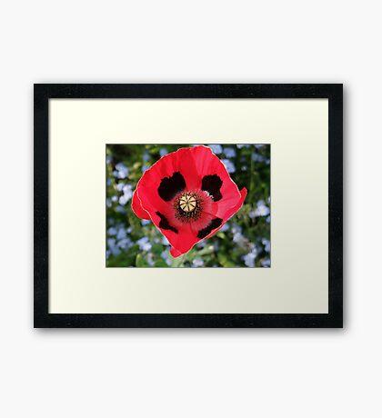 Pretty Poppy  Framed Print