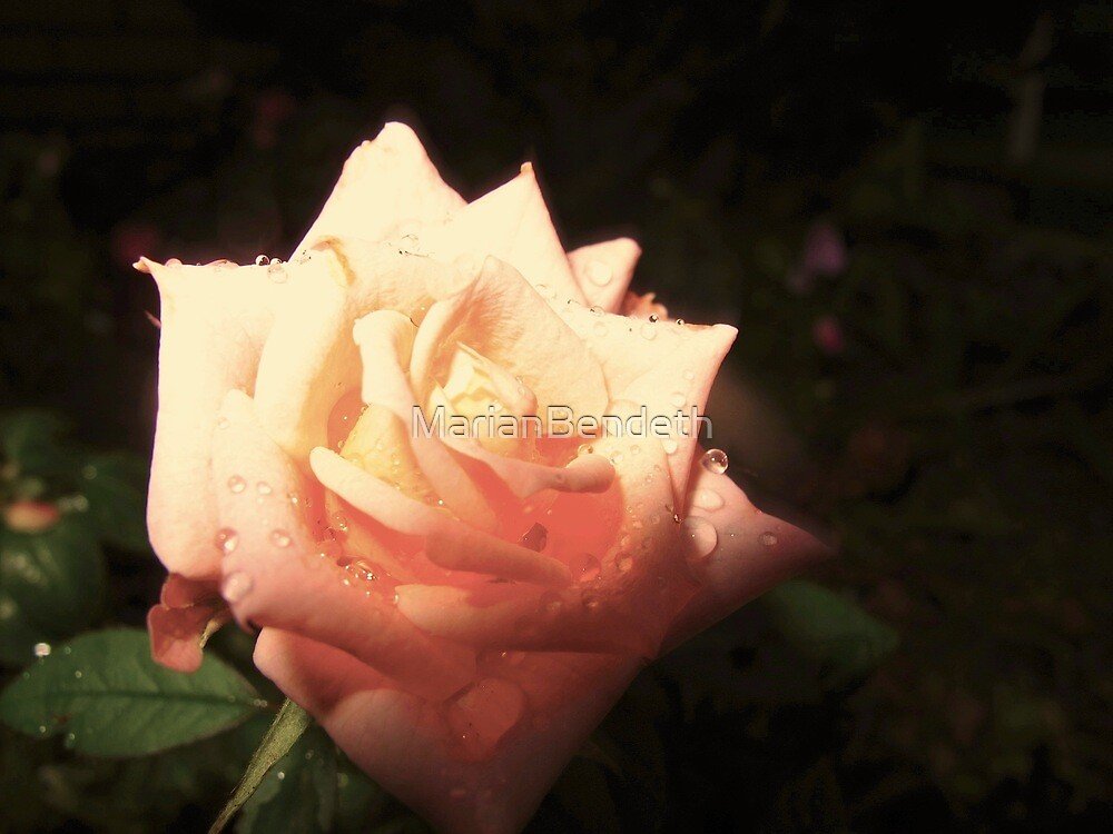 Night Rose by MarianBendeth