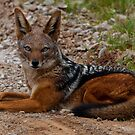 Black Backed Jackal by jonwhitehead