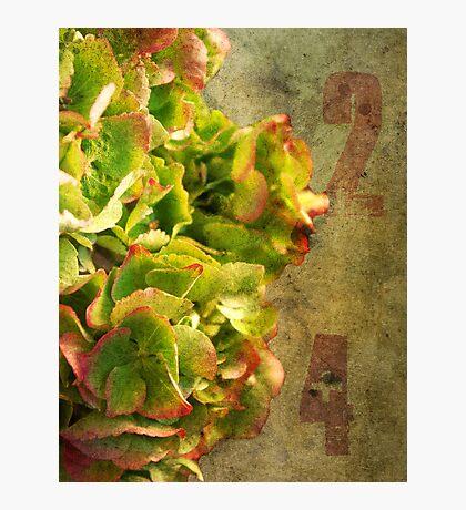 Hydrangea 24 Photographic Print