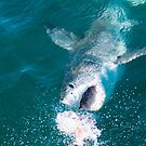 Great White Shark by jonwhitehead