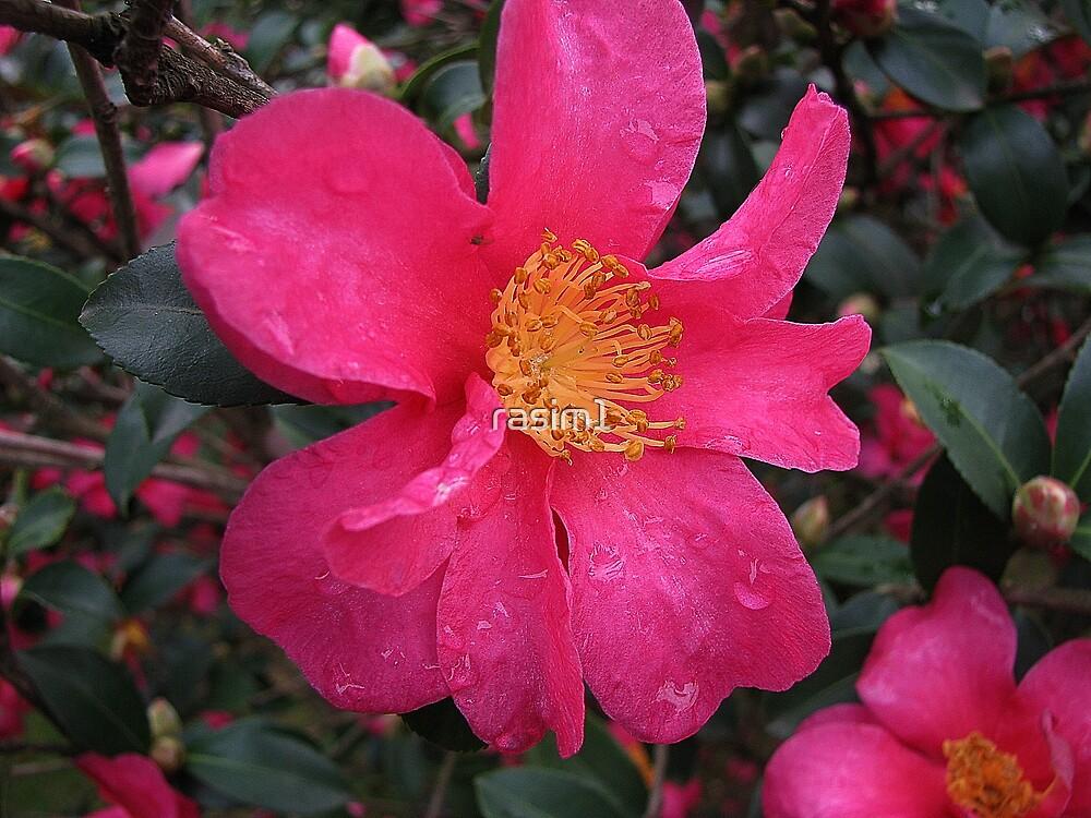 Christmas Camellia by rasim1