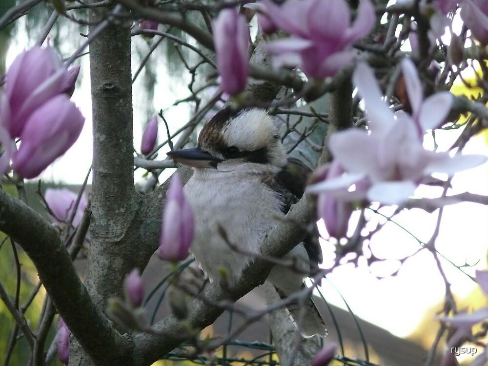 Kookarburra in Magnolia Tree by rysup