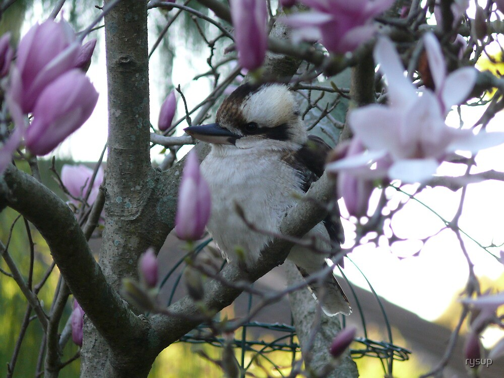 Kookarburra in Magnolia Tree 2 by rysup