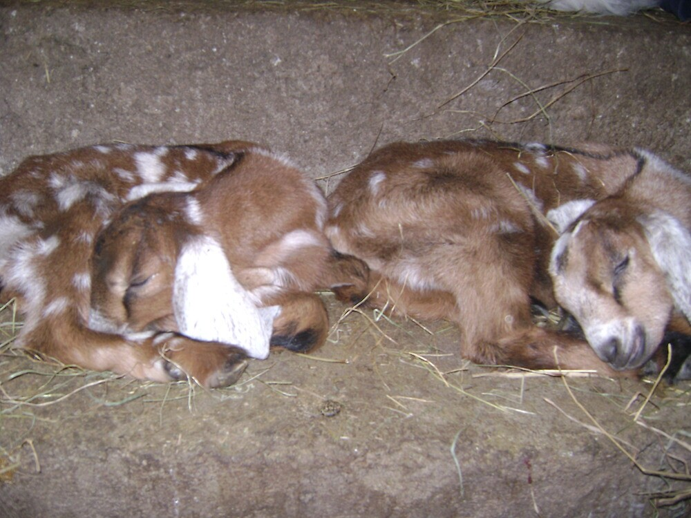 Twin Nubian Does Napping by stirlingacre