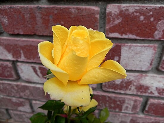 Yellow Rose of Texas by © Loree McComb