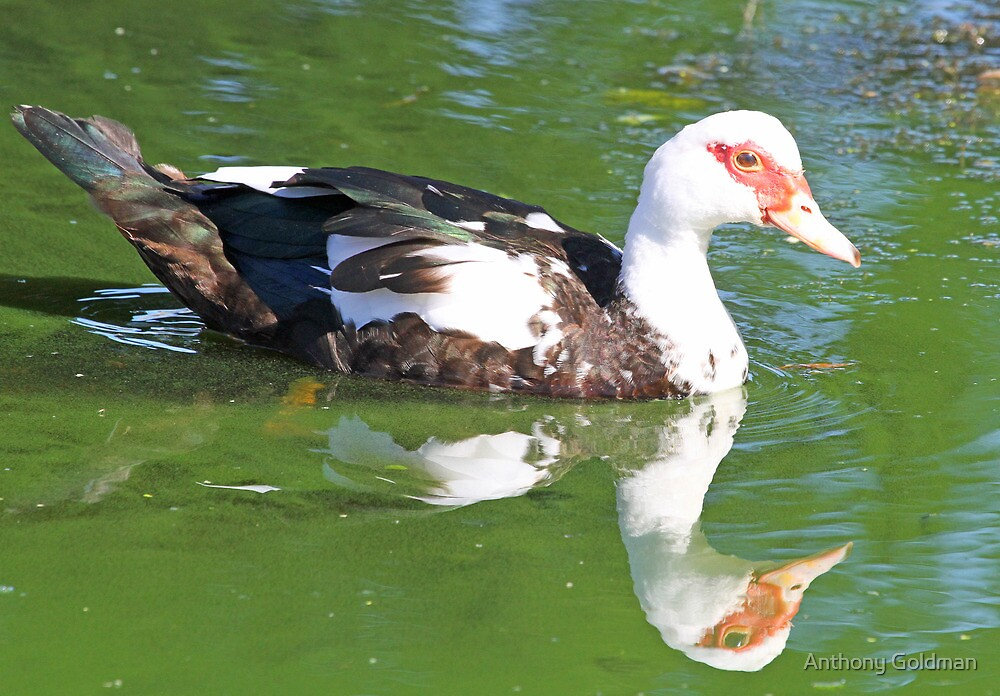 Muscovy duck with water reflectoin by Anthony Goldman