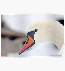 Inquisitive Swan   3938 Poster