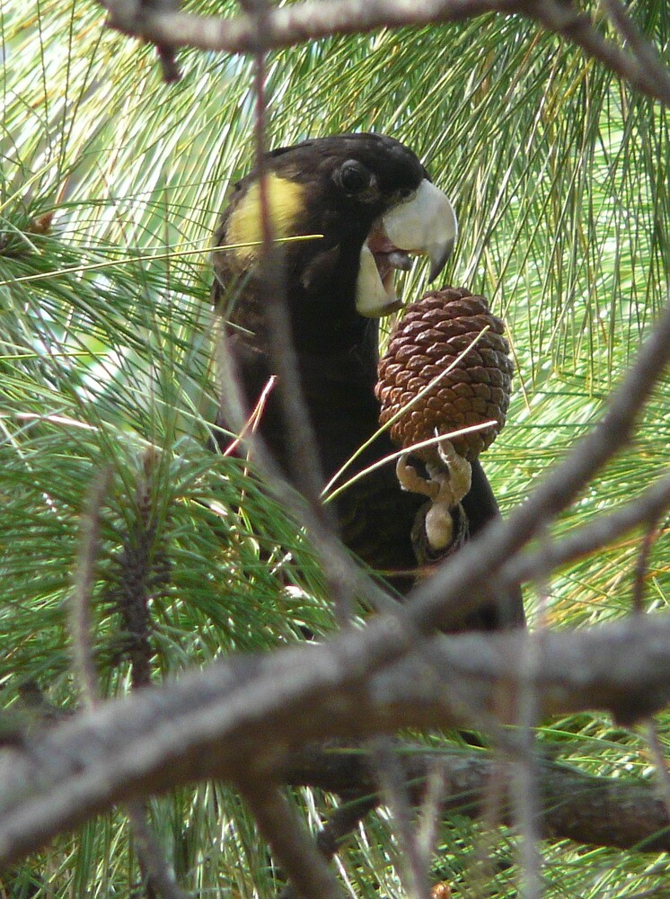 Yellow-tailed black cockatoo eating pine cone by lomandra