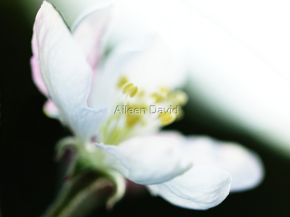 Apple Blossom Impressionism by Aileen David