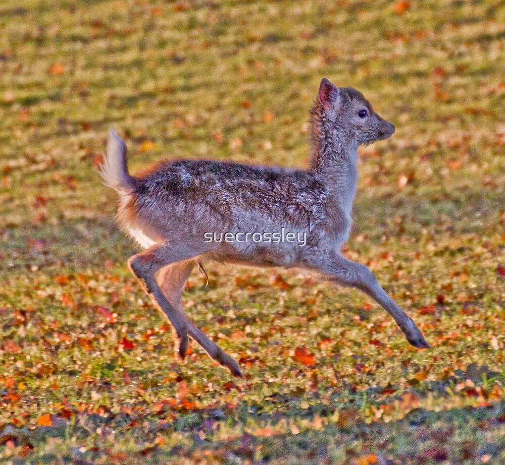 baby deer by suecrossley