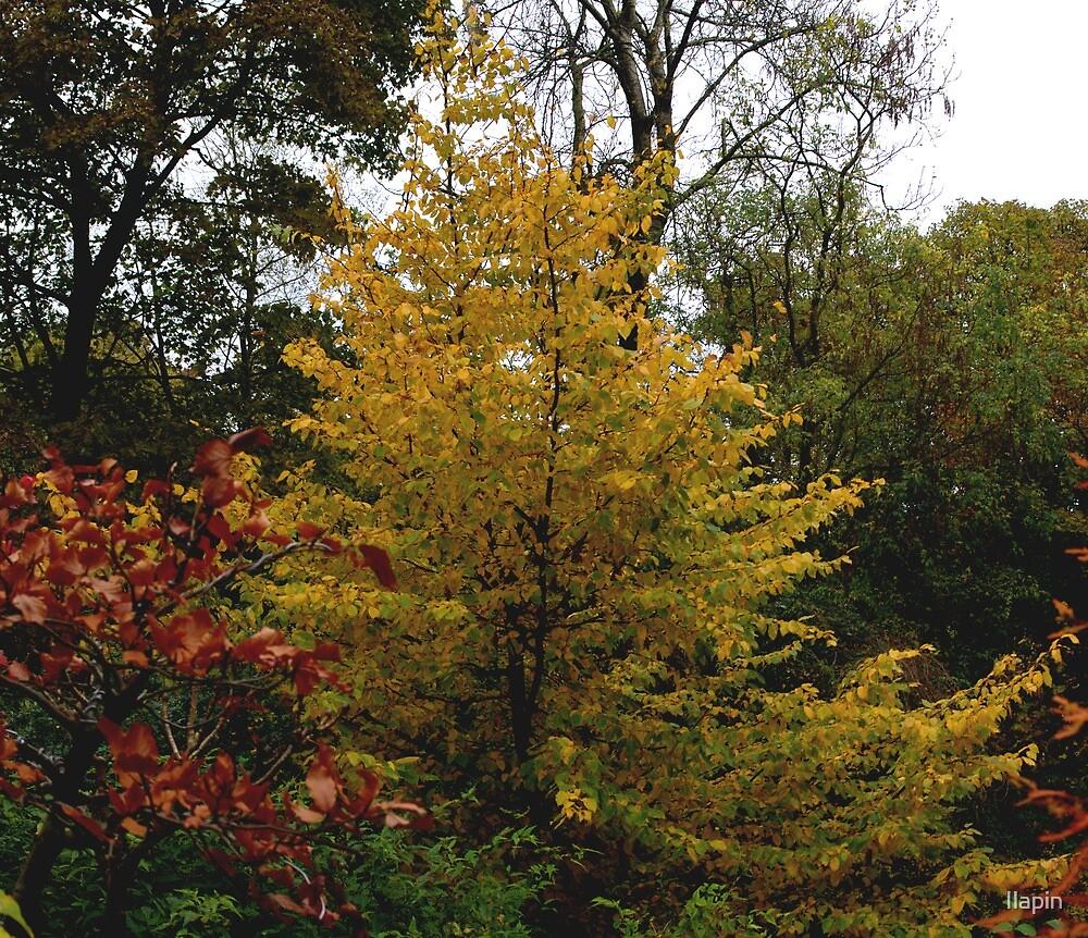 wychelm autumn by Ilapin
