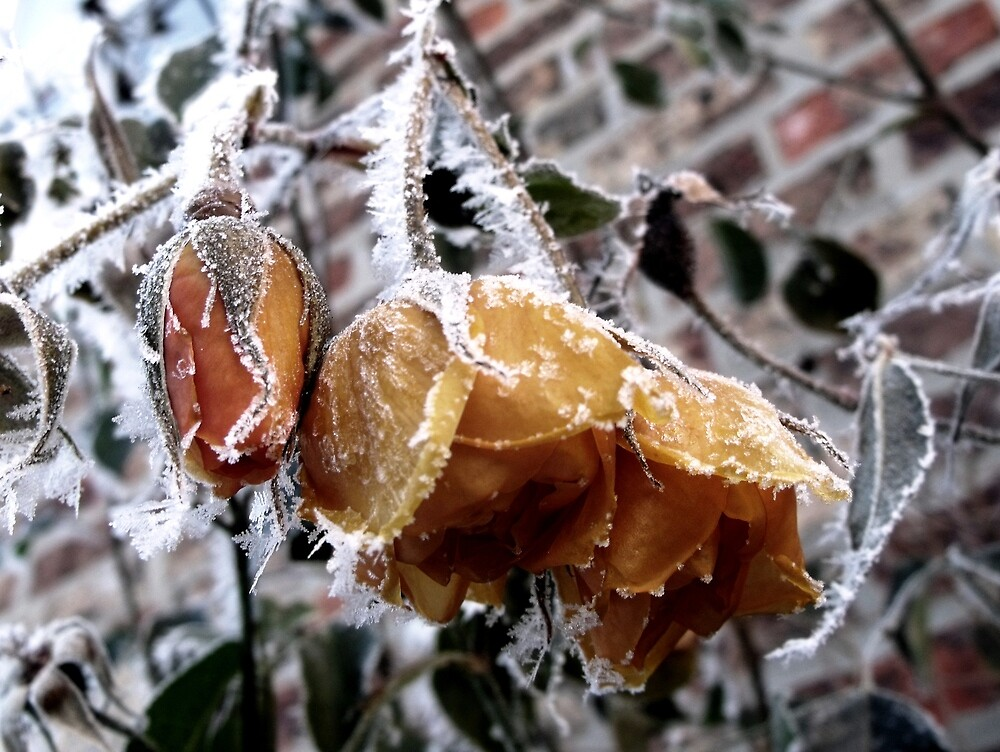 Frosty Rose by charlylou